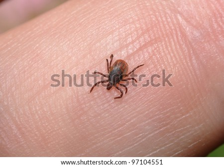 tick insect stock photos images pictures shutterstock. Black Bedroom Furniture Sets. Home Design Ideas