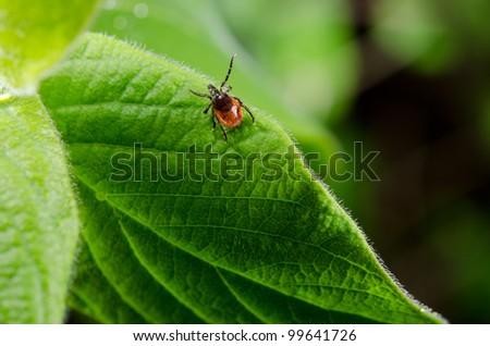 tick, fresh foliage in spring - stock photo