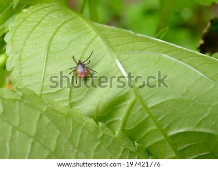 tick, leaf underside - stock photo