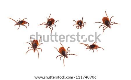 Ticks isolated on white - Ixodida - stock photo