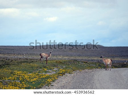 TIERRA DEL FUEGO, CHILE - NOVEMBER 14,2014: Guanaco in Tierra del Fuego.Guanaco is a mammal of the genus llam4a camelid. Is the ancestor of the domesticated llama.
