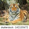 tiger - stock