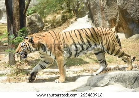 Tiger. - stock photo