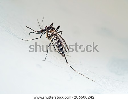 Tiger aka Forest mosquito macro. Aedes albopictus. Stegomyia albopicta. Vector for  Chikungunya, Dengue and Yellow fever. Once primarily Asian - now spread. - stock photo