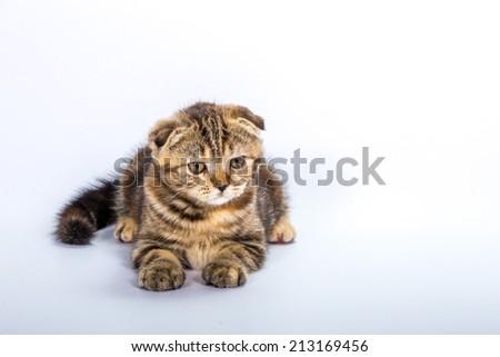 tiger baby cat - stock photo