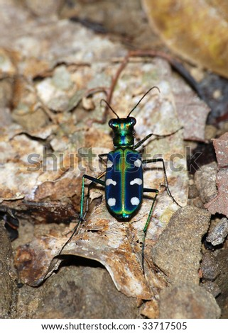 tiger beetle - stock photo