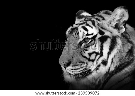 Tiger black and white isolated on black background