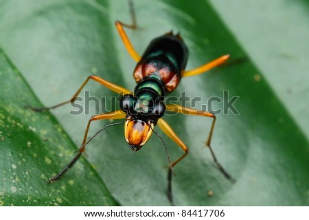 tiger bug - stock photo