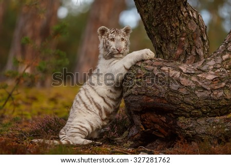tiger climbing tree - stock photo