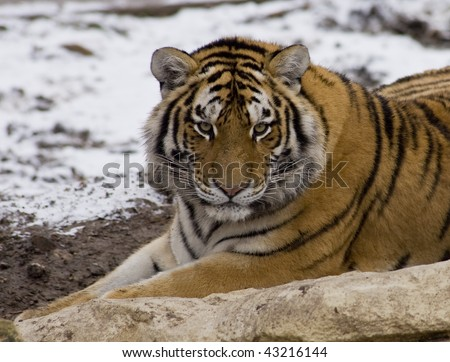 Tiger close up in the snow