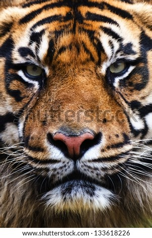 Tiger Close Up Portrait - stock photo