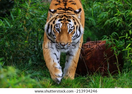 tiger comes to us - stock photo