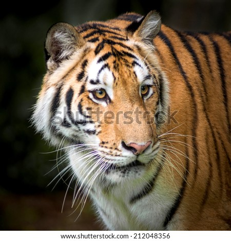 Tiger, Crouched, staring, preparation attack. - stock photo