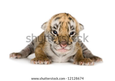 Tiger cub (4 days) in front of a white background - stock photo