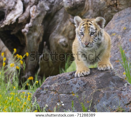 Tiger cub gray rocks with yellow flowers