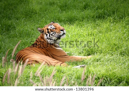 Tiger cub laying down in the green grass - stock photo