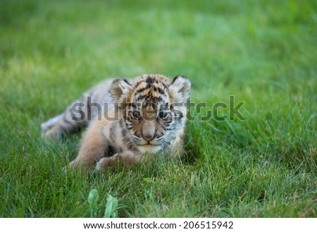 Tiger cub playing around (Panthera tigris)