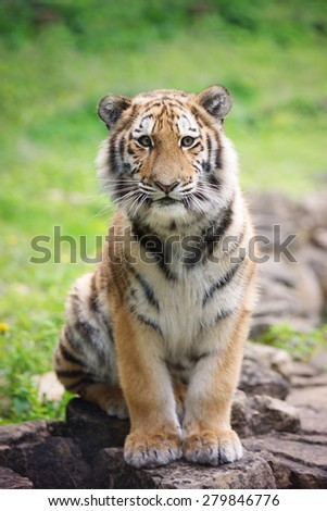 tiger cub posing - stock photo