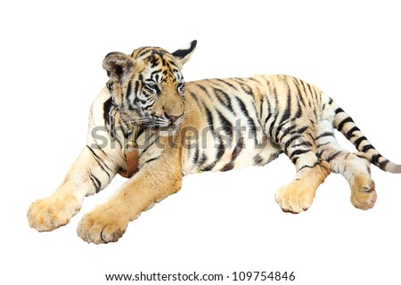 Tiger cub resting isolated - stock photo