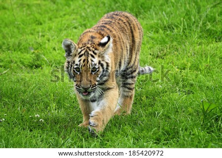 Tiger Cub - Walking into the frame on lush green grass - with tongue sticking out