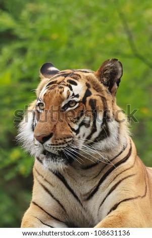 tiger detail - stock photo