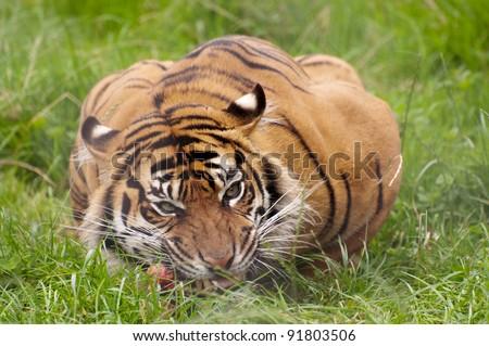 Tiger eating prey - stock photo