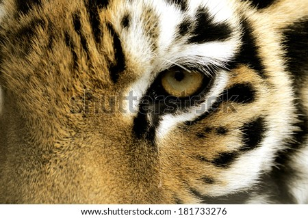 Tiger Eye. - stock photo