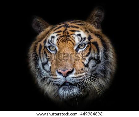 Tiger face. - stock photo