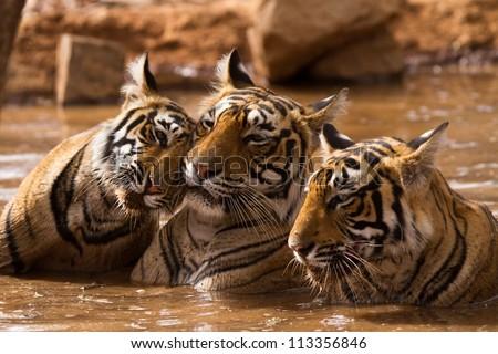 Tiger Family - stock photo