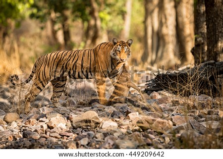 Tiger female looks towards photographer with a dead deer in her mouth/wild animal hunt in the nature habitat/India