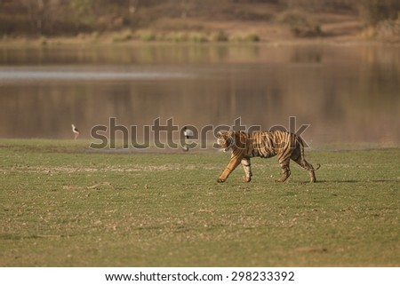Tiger from India - stock photo