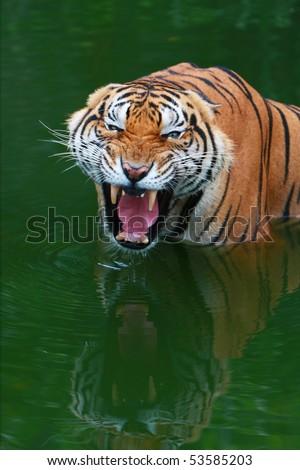Tiger growl - stock photo