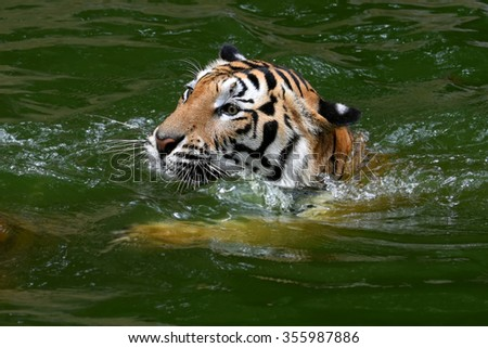 Tiger head and swimming on water  - stock photo