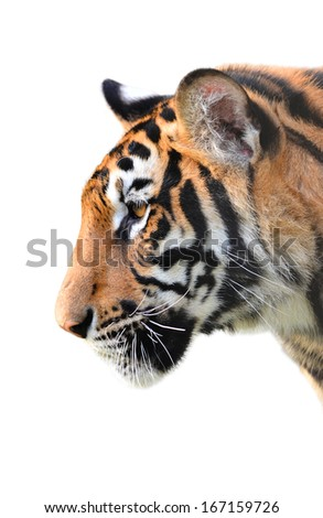 tiger head isolated on white background - stock photo