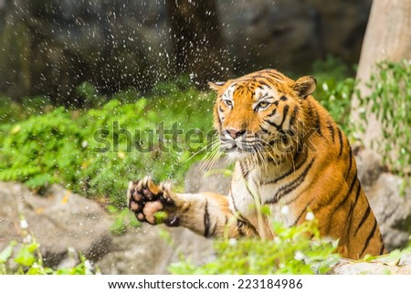 Tiger in a relaxed manner