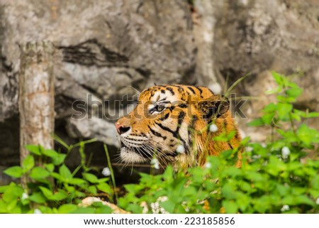 tiger in a relaxed manner - stock photo