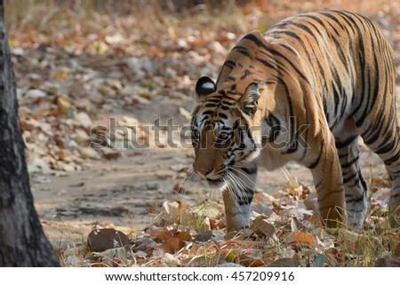 Tiger in Jungle, Kanha national park, India - stock photo