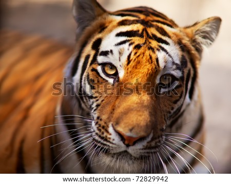 Tiger in the Novosibirsk zoo - stock photo