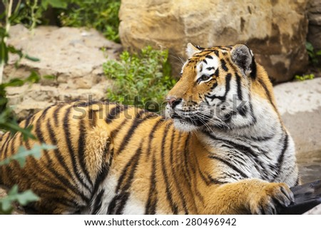 Tiger in the pond - stock photo