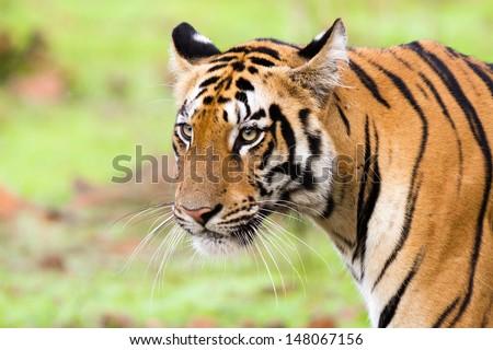 Tiger in the rain - stock photo