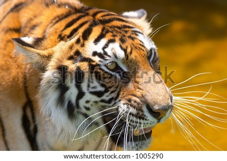 tiger in the water 2 - stock photo