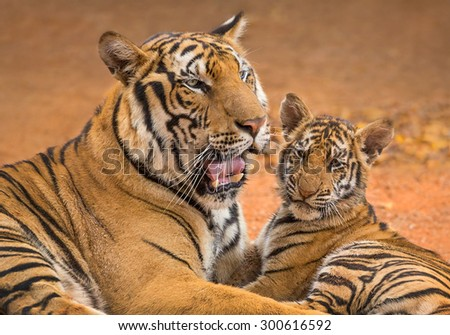 tiger in the zoo. - stock photo