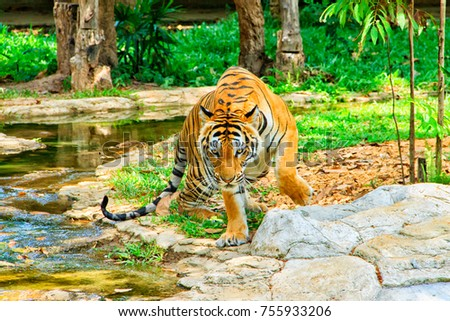 Tiger in the zoo. Beautiful and powerful photo of this majestic animal.