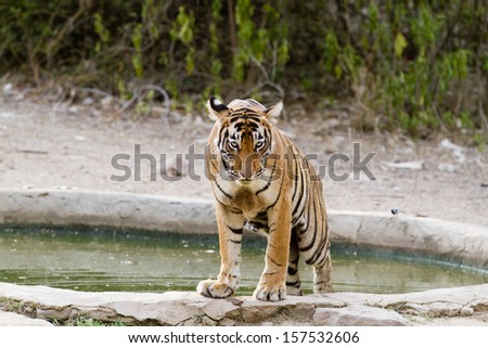 Tiger in water - stock photo