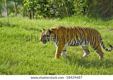 Tiger in Wild - stock photo