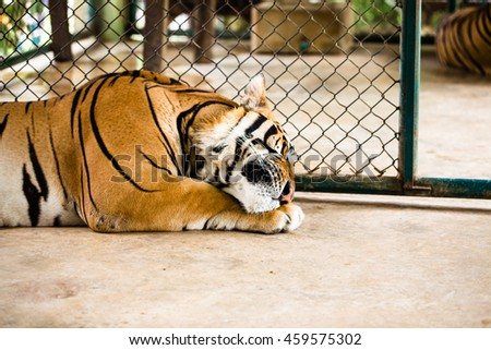 Tiger in zoo Thailand
