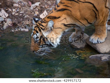 Tiger is drinking pure and clear water among the stones. It is an excellent illustration in the soft light which shows wild life.