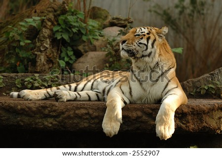 Tiger is resting in the shade - stock photo
