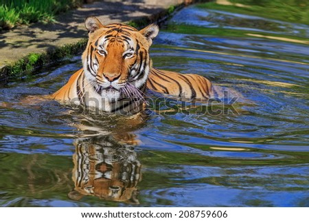 tiger is resting in the water - stock photo
