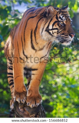 tiger is very attentive - stock photo